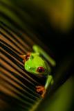 Θαυμάσιος εξωτικός βάτραχος, τροπικό θέμα στοκ εικόνα
