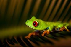 Θαυμάσιος εξωτικός βάτραχος, τροπικό θέμα στοκ φωτογραφίες με δικαίωμα ελεύθερης χρήσης