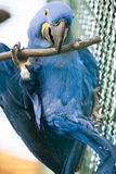 Θαυμάσιος παπαγάλος υάκινθων macaw Στοκ φωτογραφία με δικαίωμα ελεύθερης χρήσης