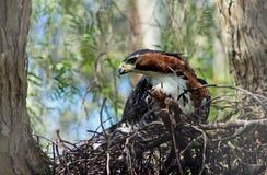 Θαυμάσιος περίκομψος γεράκι-αετός, ornatus Spizaetus στοκ εικόνα με δικαίωμα ελεύθερης χρήσης