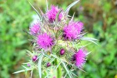 θαυμάσιος σκωτσέζικος κάρδος στοκ εικόνες με δικαίωμα ελεύθερης χρήσης
