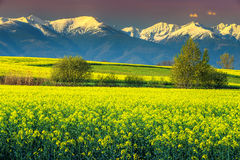 Θαυμάσιος τομέας canola με τα χιονώδη βουνά, Fagaras, Carpathians, Τρανσυλβανία, Ρουμανία Στοκ φωτογραφία με δικαίωμα ελεύθερης χρήσης