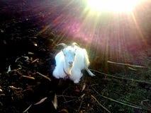 Θαυμάσιο ηλιοβασίλεμα χώρας φύσης φωτογραφιών αιγών ζωικό στοκ εικόνες