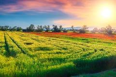 Θαυμάσιο θερινό τοπίο με το σιτάρι και τον κόκκινο τομέα παπαρουνών, Ρ στοκ φωτογραφία