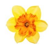 Θαυμάσιο κίτρινο κεφάλι λουλουδιών ναρκίσσων λουλουδιών Στοκ φωτογραφίες με δικαίωμα ελεύθερης χρήσης