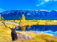 Θαυμάσιο καναδικό ινδικό καλοκαίρι ελαφιών Στοκ Φωτογραφία