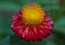 Θαυμάσιο κόκκινο/κίτρινο λουλούδι Στοκ Φωτογραφίες