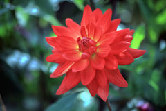Θαυμάσιο κόκκινο λουλούδι νταλιών Στοκ φωτογραφία με δικαίωμα ελεύθερης χρήσης