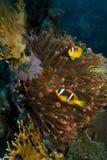 Θαυμάσιο κόκκινο anemone με το anemonefish Στοκ Εικόνες