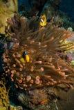 Θαυμάσιο κόκκινο anemone με το anemonefish Στοκ εικόνες με δικαίωμα ελεύθερης χρήσης
