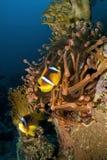 Θαυμάσιο κόκκινο anemone με το anemonefish Στοκ φωτογραφία με δικαίωμα ελεύθερης χρήσης