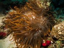 Θαυμάσιο κόκκινο anemone Στοκ φωτογραφία με δικαίωμα ελεύθερης χρήσης