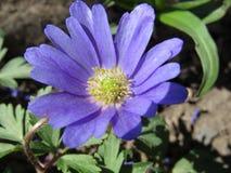 Θαυμάσιο μπλε λουλούδι άνοιξη Στοκ φωτογραφία με δικαίωμα ελεύθερης χρήσης