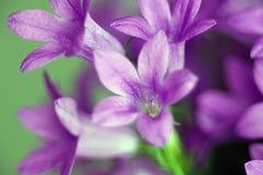 Θαυμάσιο μπλε χιόνι κουδουνιών λουλουδιών κουδουνιών Στοκ Εικόνες
