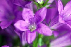Θαυμάσιο μπλε χιόνι κουδουνιών λουλουδιών κουδουνιών Στοκ Φωτογραφίες