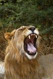 Θαυμάσιο νέο υπο- ενήλικο αρσενικό λιοντάρι έτοιμο να αφήσει την υπερηφάνεια στοκ εικόνες