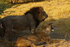 Θαυμάσιο νέο υπο- ενήλικο αρσενικό λιοντάρι έτοιμο να αφήσει την υπερηφάνεια στοκ φωτογραφία