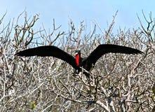 Θαυμάσιο πουλί φρεγάτων Στοκ Φωτογραφία