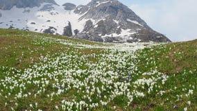 Θαυμάσιο σύνολο λουλουδιών κρόκων στο αλπικό λιβάδι Άνθος κρόκων Λουλούδια βουνών Στο υπόβαθρο οι Άλπεις απόθεμα βίντεο