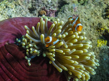 θαυμάσιο anemone θάλασσας στην Ινδονησία Στοκ Φωτογραφία