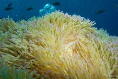 Θαυμάσιο anemone θάλασσας Στοκ Φωτογραφία