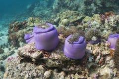 Θαυμάσιο anemone θάλασσας (Heteractis Magnifica) Στοκ Εικόνα