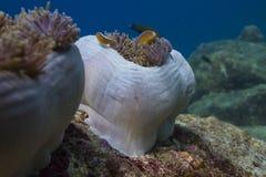 Θαυμάσιο anemone θάλασσας (Heteractis Magnifica) Στοκ φωτογραφία με δικαίωμα ελεύθερης χρήσης