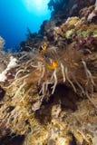 Θαυμάσιο anemone και τροπικός σκόπελος στη Ερυθρά Θάλασσα. Στοκ Φωτογραφία
