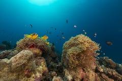 Θαυμάσιο anemone και anemonefish στη Ερυθρά Θάλασσα. Στοκ Εικόνα
