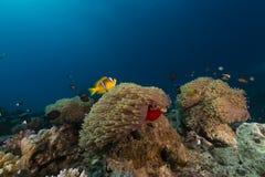 Θαυμάσιο anemone και anemonefish στη Ερυθρά Θάλασσα. Στοκ εικόνα με δικαίωμα ελεύθερης χρήσης