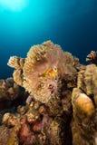 Θαυμάσιο anemone και anemonefish στη Ερυθρά Θάλασσα. Στοκ φωτογραφίες με δικαίωμα ελεύθερης χρήσης