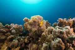 Θαυμάσιο anemone και anemonefish στη Ερυθρά Θάλασσα. Στοκ εικόνες με δικαίωμα ελεύθερης χρήσης