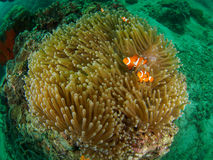 Θαυμάσιο Anemone με τα ψάρια Στοκ Φωτογραφία