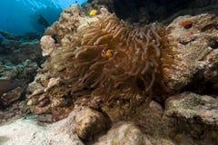 Θαυμάσιο anemone στη Ερυθρά Θάλασσα. Στοκ φωτογραφίες με δικαίωμα ελεύθερης χρήσης