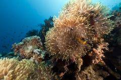 Θαυμάσιο anemone στη Ερυθρά Θάλασσα. Στοκ εικόνες με δικαίωμα ελεύθερης χρήσης