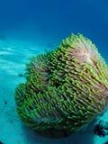 Θαυμάσιο anemone Στοκ Εικόνες
