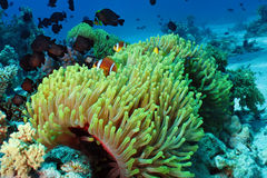 Θαυμάσιο anemone Στοκ Φωτογραφία