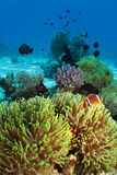 Θαυμάσιο anemone Στοκ Φωτογραφίες