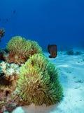 Θαυμάσιο anemone Στοκ φωτογραφία με δικαίωμα ελεύθερης χρήσης