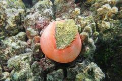 Θαυμάσιο anemone Heteractis Magnifica θάλασσας Στοκ εικόνες με δικαίωμα ελεύθερης χρήσης