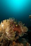 Θαυμάσιο anemone (heteractis Magnifica) στη Ερυθρά Θάλασσα. Στοκ εικόνες με δικαίωμα ελεύθερης χρήσης
