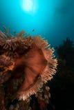 Θαυμάσιο anemone (heteractis Magnifica) στη Ερυθρά Θάλασσα. Στοκ Φωτογραφίες