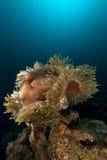 Θαυμάσιο anemone (heteractis Magnifica) στη Ερυθρά Θάλασσα. Στοκ Φωτογραφία