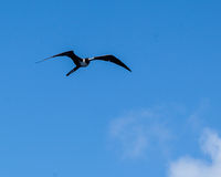 Θαυμάσιο Frigatebird Fernando de Noronha Βραζιλία Στοκ Εικόνες