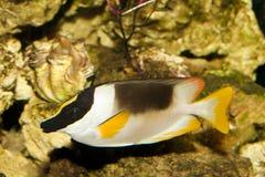 Θαυμάσιο Rabbitfish ή Foxface στο ενυδρείο Στοκ Εικόνες