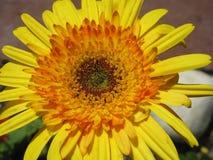 Θαυμασμός της ομορφιάς στο κίτρινο λουλούδι Στοκ Φωτογραφίες