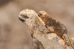 Θαλάσσια οικογένεια Iguana, Galapagos νησιά, Ισημερινός Στοκ εικόνες με δικαίωμα ελεύθερης χρήσης