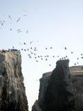 Θαλάσσια πουλιά Anacapa Στοκ Φωτογραφίες
