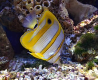 Θαλάσσια ψάρια Στοκ εικόνες με δικαίωμα ελεύθερης χρήσης