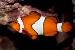 Θαλάσσια ψάρια Ocellaris clownfish (ocellaris Amphiprion) Στοκ εικόνες με δικαίωμα ελεύθερης χρήσης